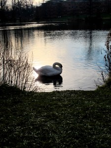 The gorgeous swan of the Vale lake